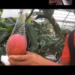 静岡県中部5市2町 さんの 夏だ、完熟マンゴーだ!静岡県藤枝市の農家さんと一緒に「週末夜のごほうびフルーツサンド」を作ろう
